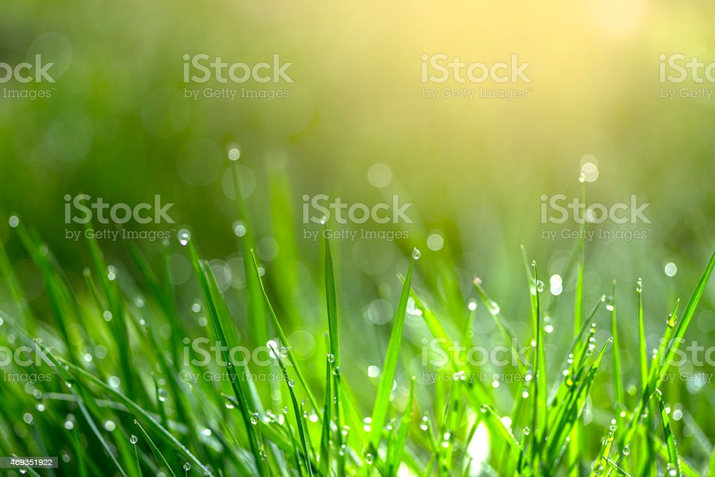 Lots of blades of green grass with morning dew on them stock photo
