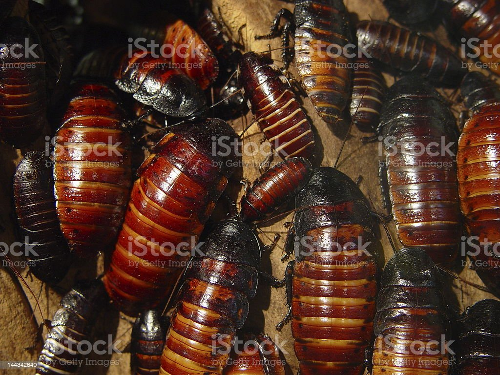 Lots of Cockroaches stock photo