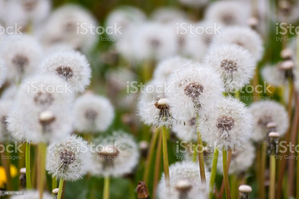 Lots of dandelions in a meadow stock photo