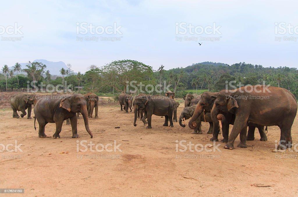 Lots of Elephants stock photo