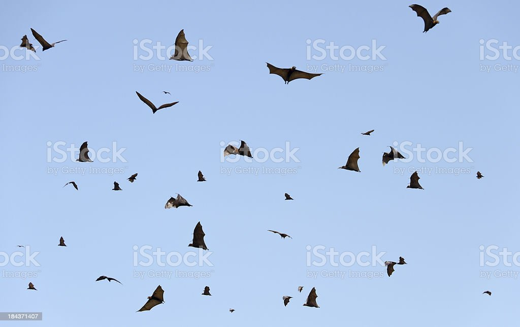 Lots of flying fox royalty-free stock photo