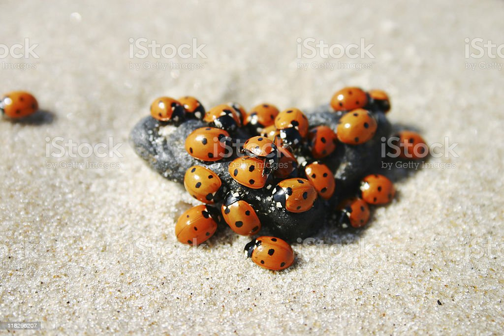 Lots of ladybugs on a small stone royalty-free stock photo