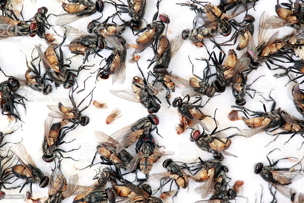 Lots of mosquitoes and flies on  sticky  paper trap. stock photo