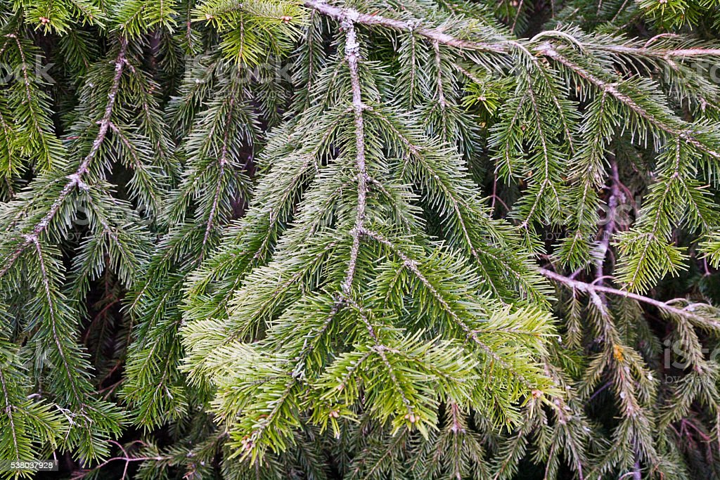 Lots of multilayer spreading furry green conifer branches stock photo