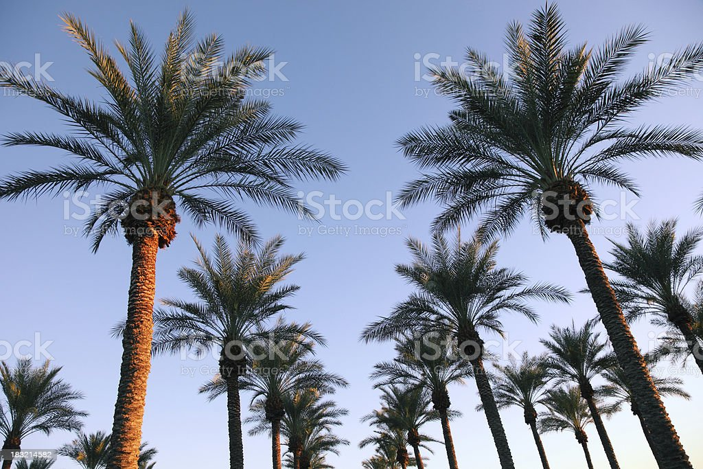 Lots of Palm Trees royalty-free stock photo