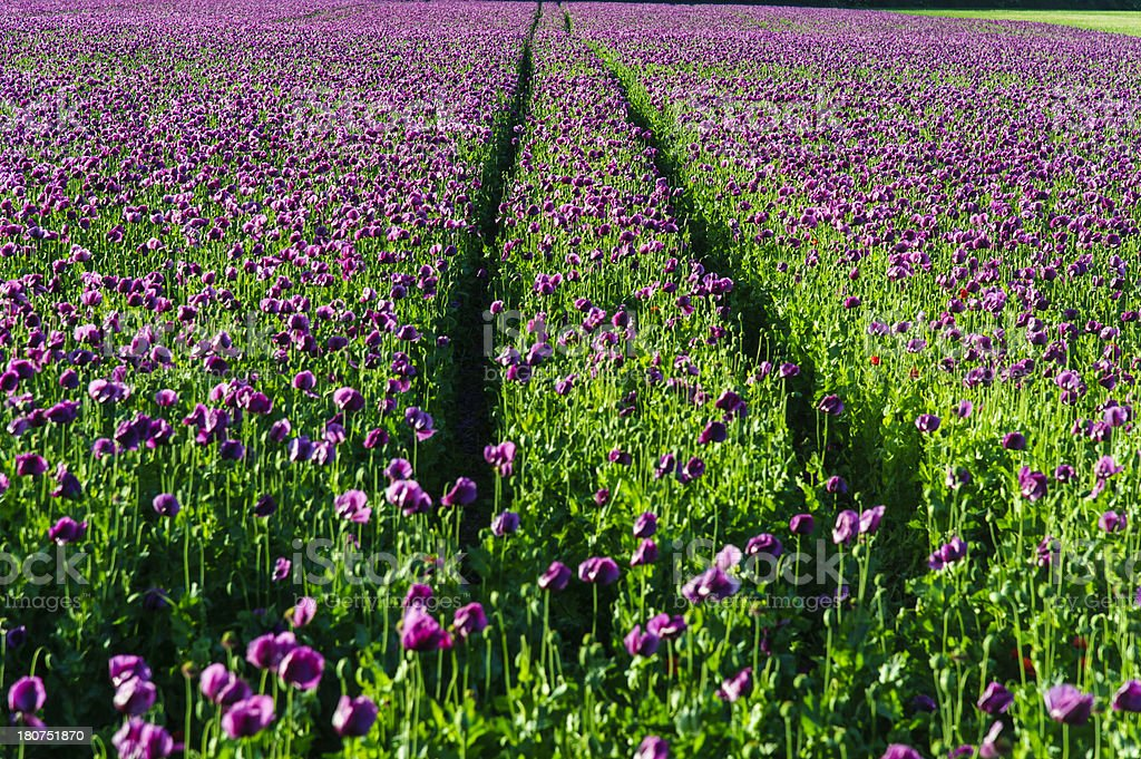 Lots of purple poppies with tyretrack royalty-free stock photo