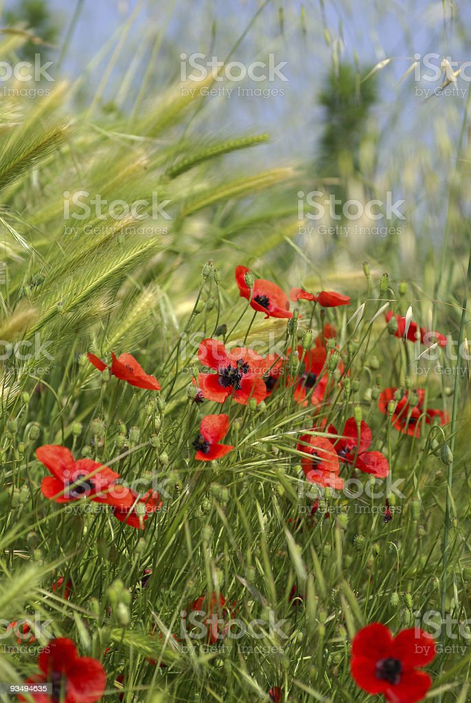 Lots of red poppies in the wheat stock photo