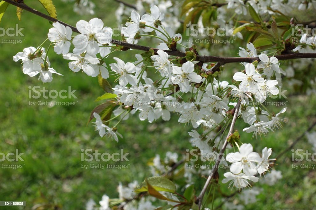 Lots of white cherry flowers in spring stock photo