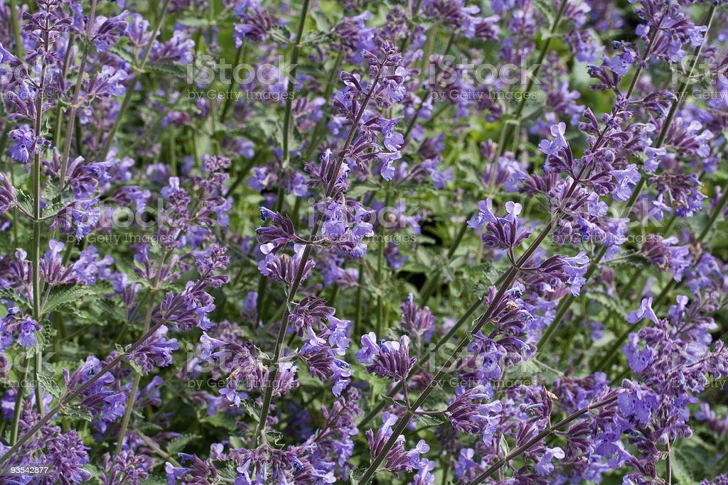 Lots of wild purple catnip is in bloom stock photo