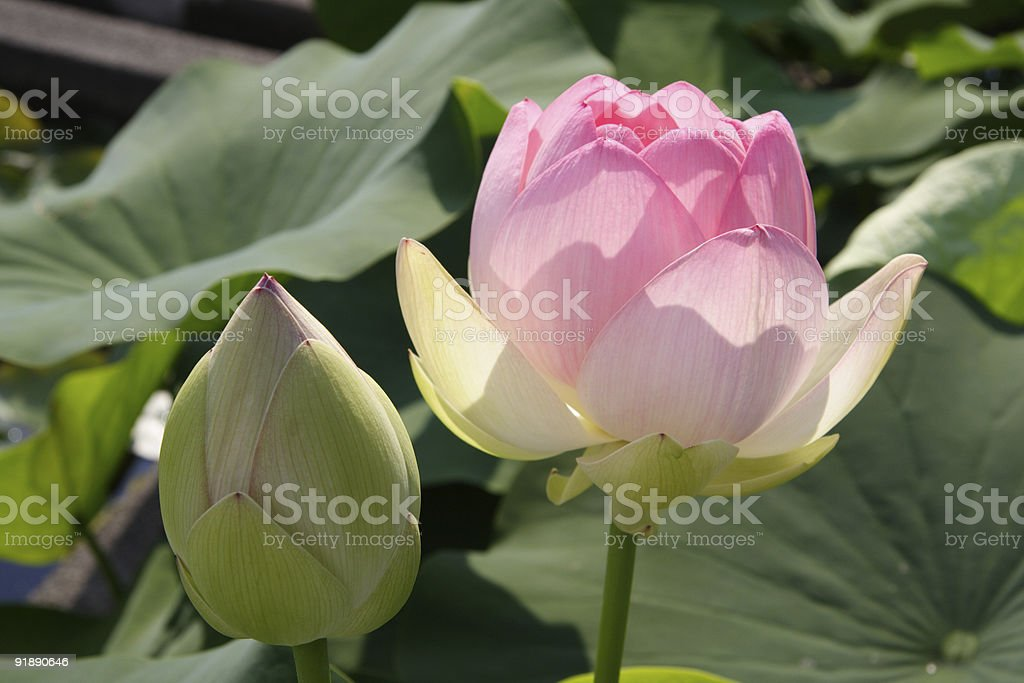 lotus 1 royalty-free stock photo
