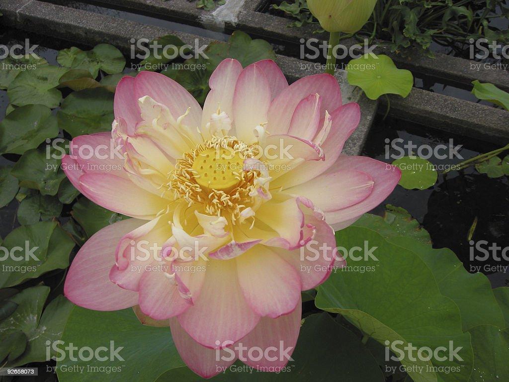 lotus 2 royalty-free stock photo
