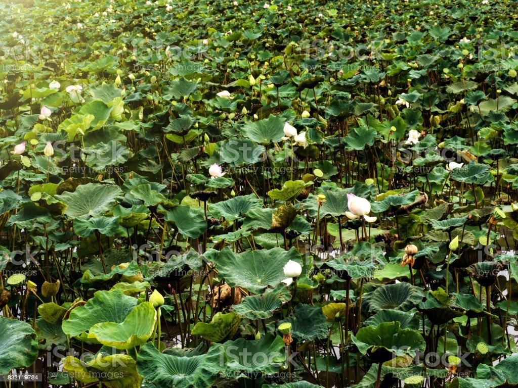 Lotus after rain stock photo