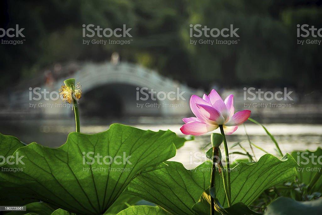 Lotus and Chinese Bridge royalty-free stock photo