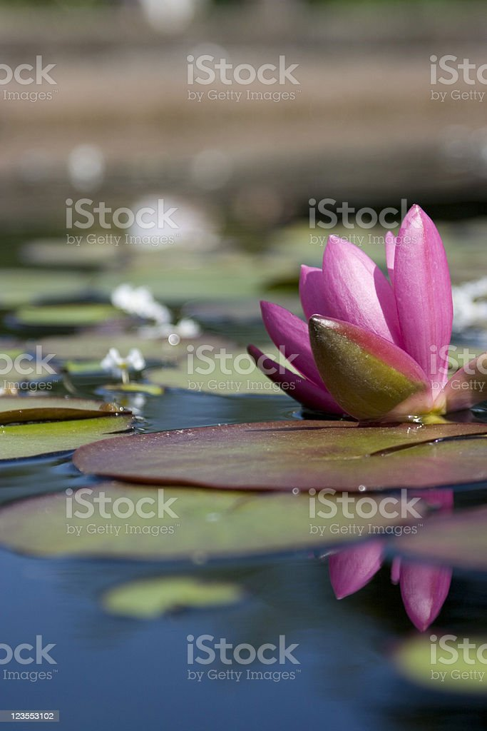 Lotus and reflection royalty-free stock photo