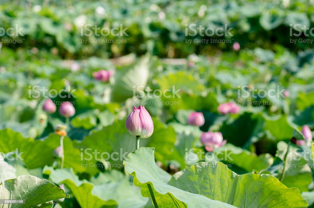 Lotus and seedpod in pond stock photo