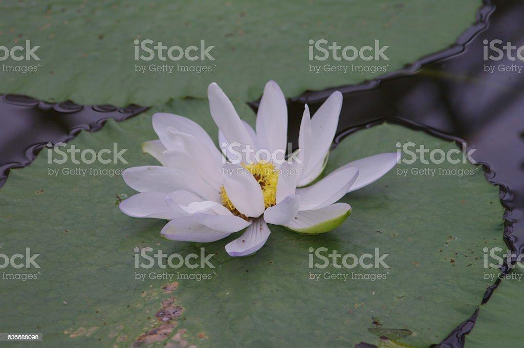 Lotus background. stock photo