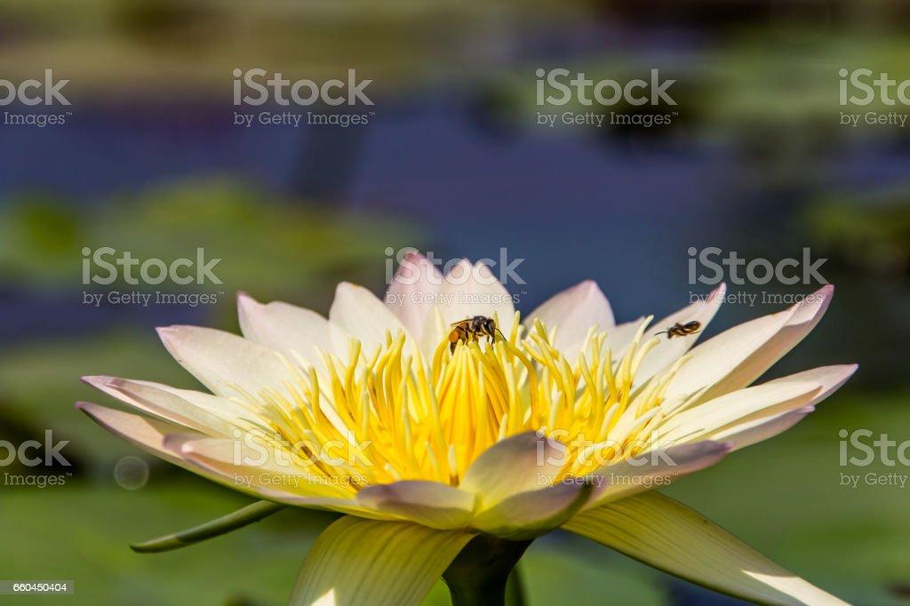 Lotus & bee stock photo
