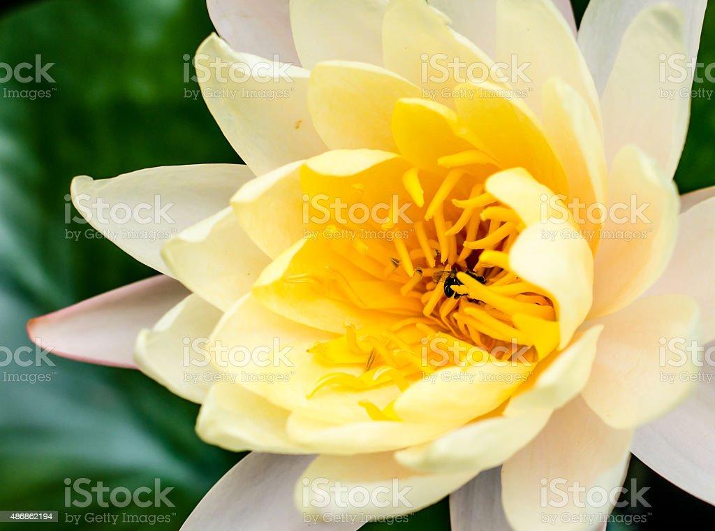 Lotus bee swarm stock photo