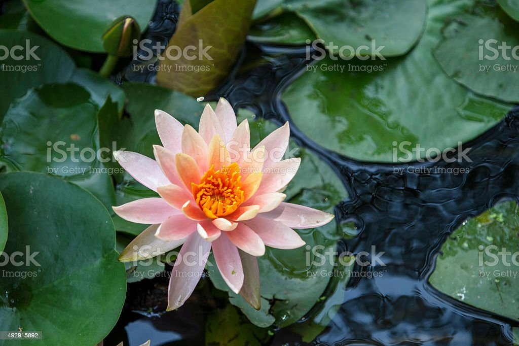 lotus blooming in pond stock photo