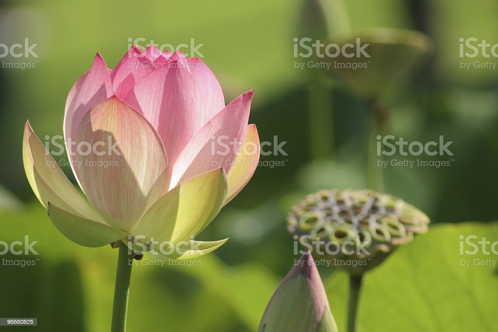 Lotus blossom and pod royalty-free stock photo