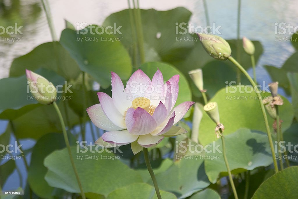 Lotus Blossom stock photo