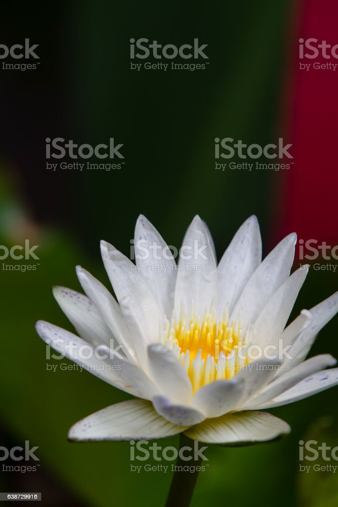 Lotus blossom. stock photo