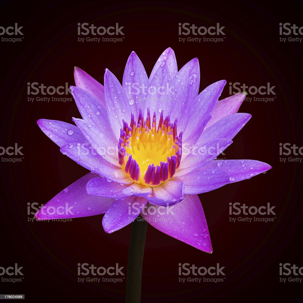 Lotus blossoms or water lily flowers blooming stock photo