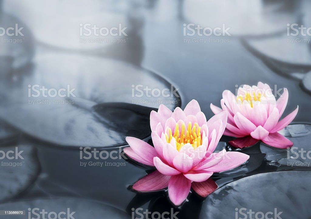 Lotus blossoms stock photo