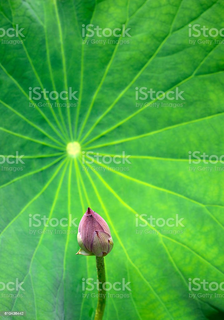 Lotus bud close up stock photo