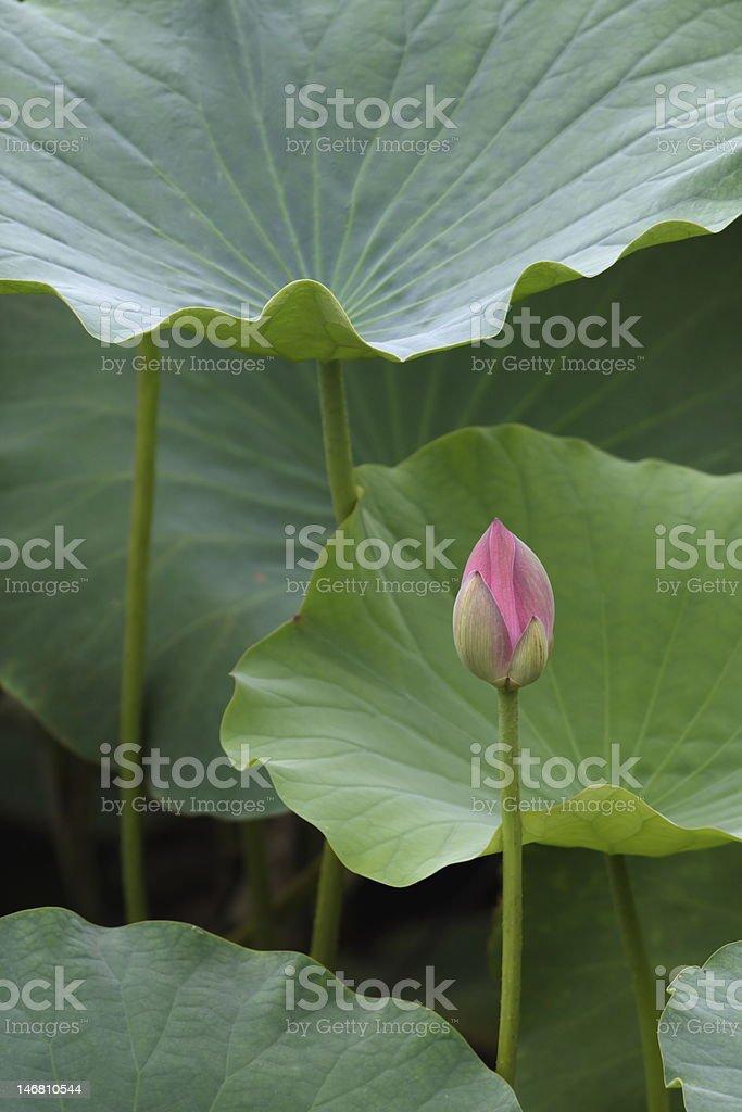Lotus Budding Blossom royalty-free stock photo
