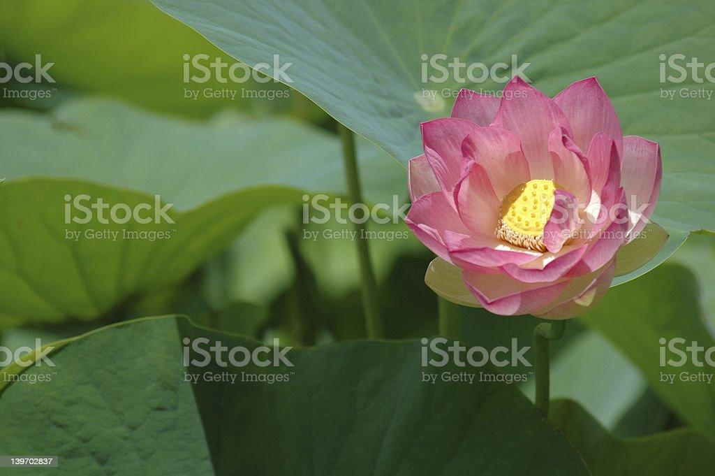 Lotus Flower 2 royalty-free stock photo