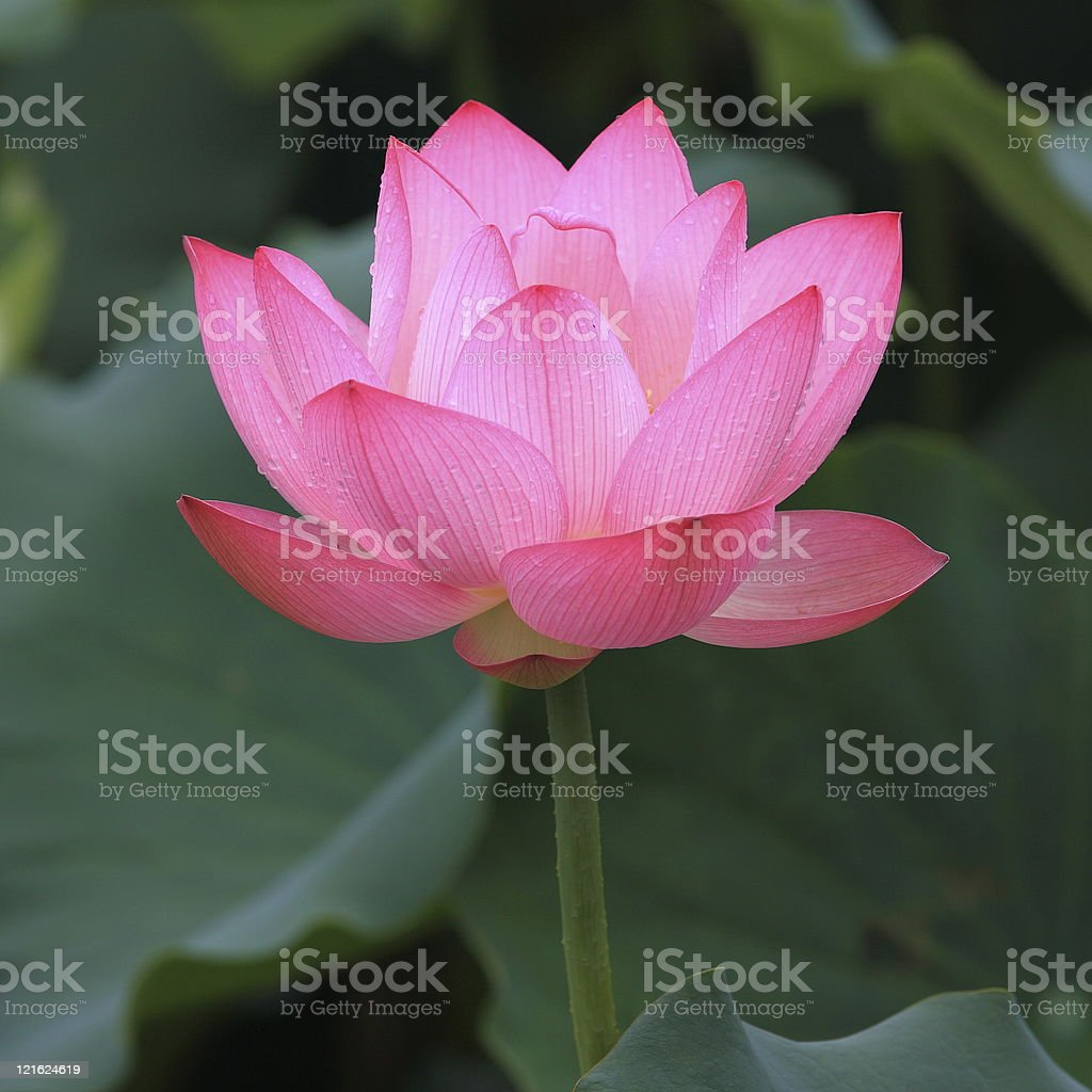 Lotus flower after rain royalty-free stock photo