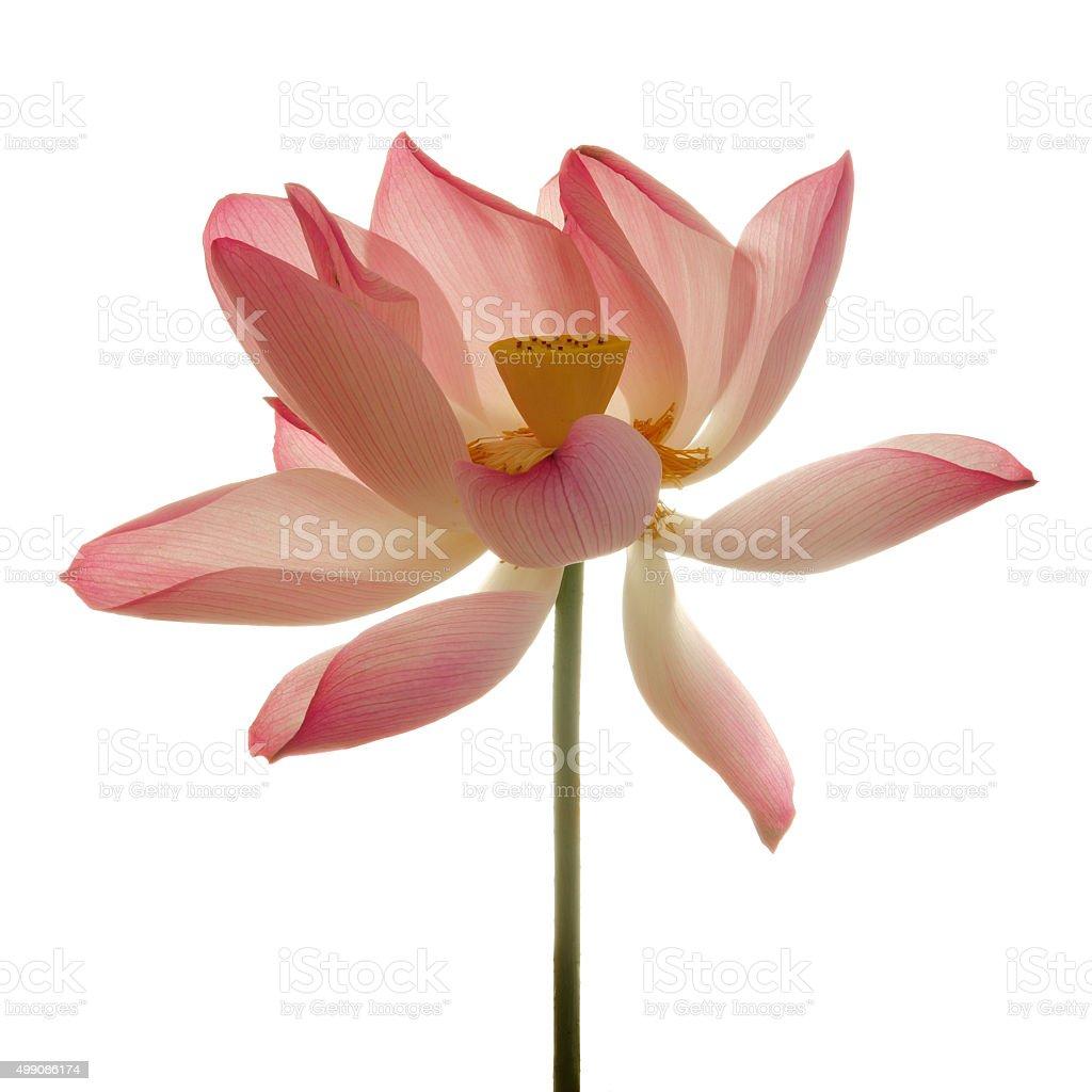 Lotus flower against white background stock photo