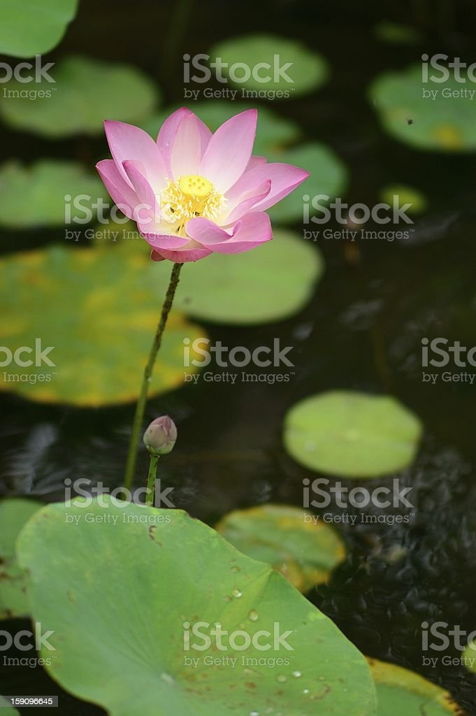 Lotus flower and leaves in the lake royalty-free stock photo