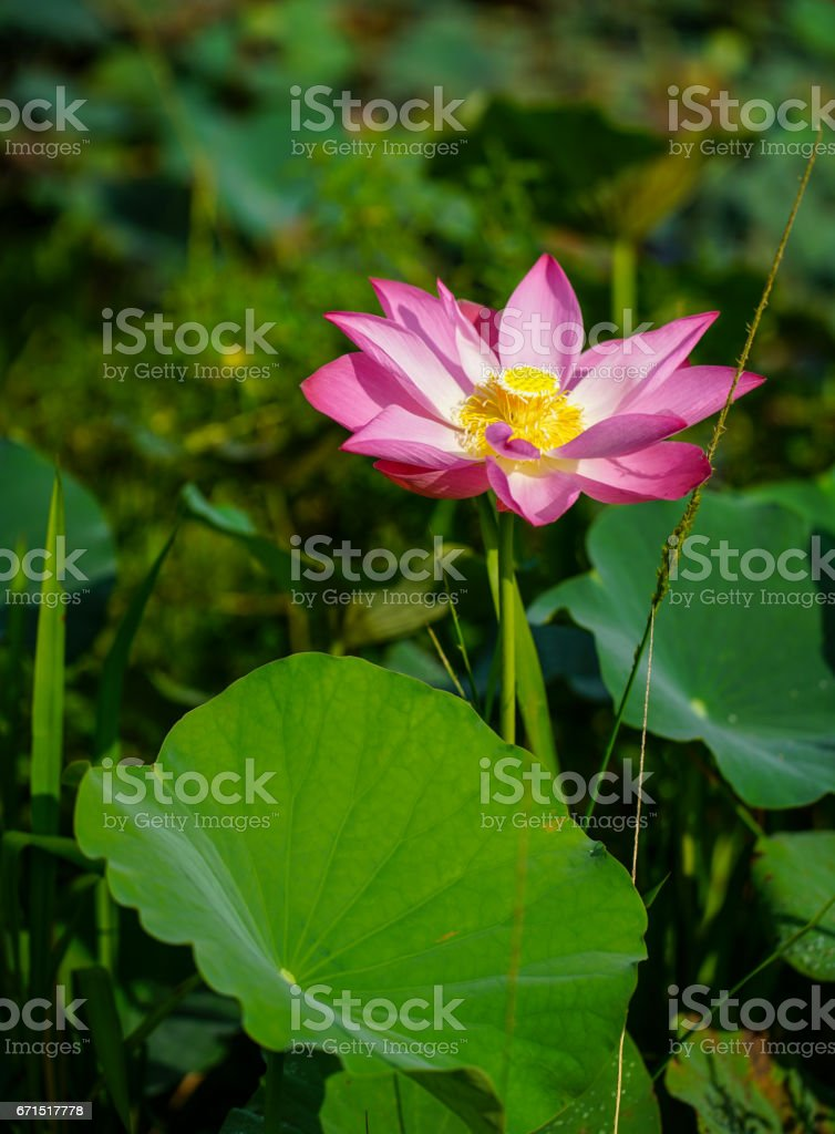 Lotus flower and plants stock photo