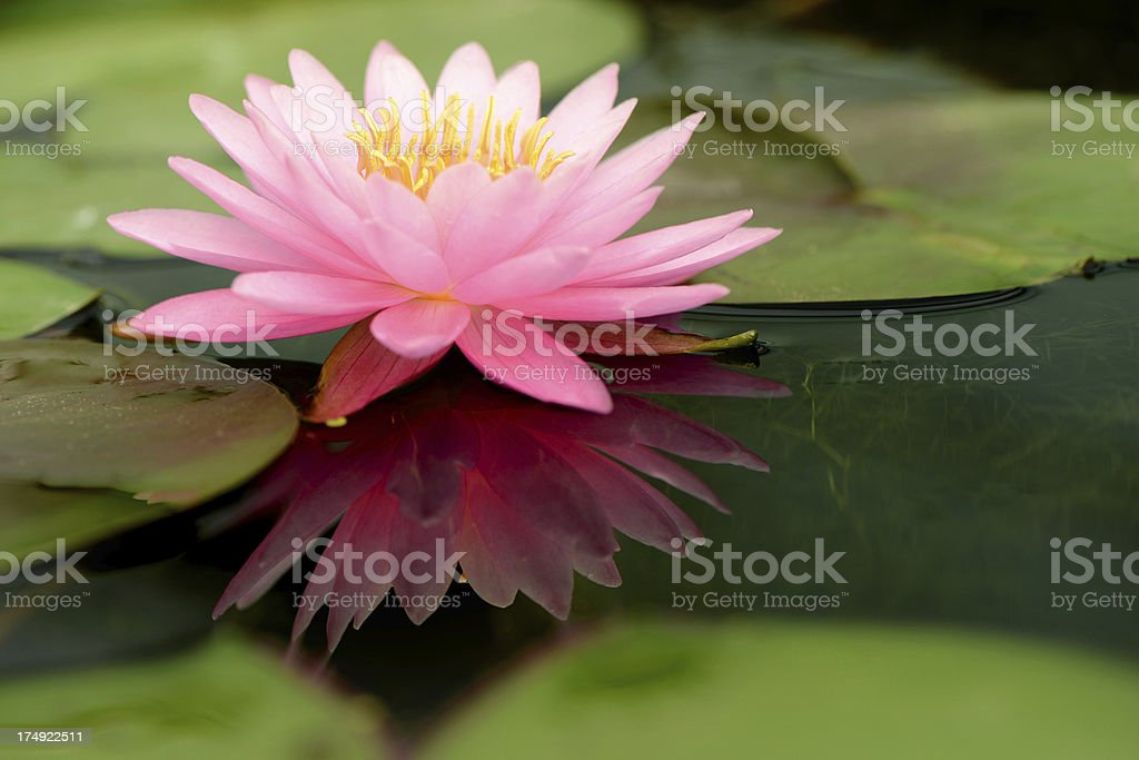 Lotus flower and reflection on water royalty-free stock photo