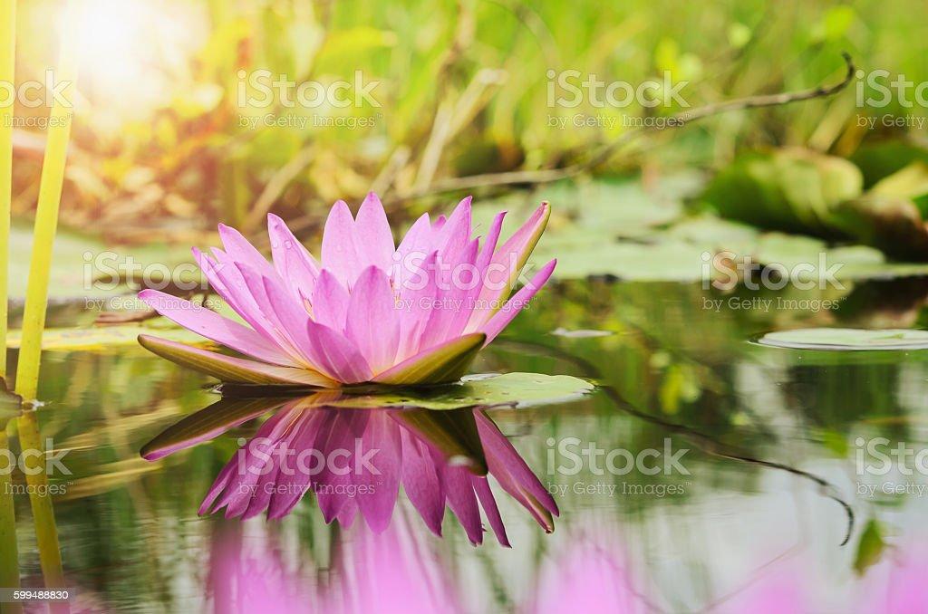 lotus flower background and sunshine stock photo
