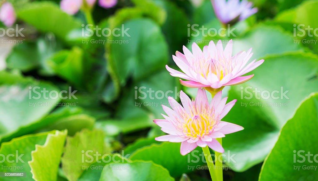 Lotus Blume Hintergrund Lizenzfreies stock-foto
