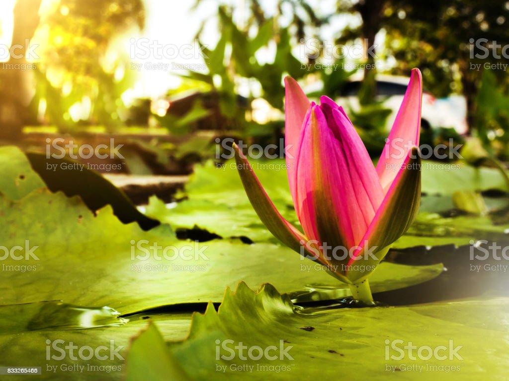 Lotus flower bloom stock photo