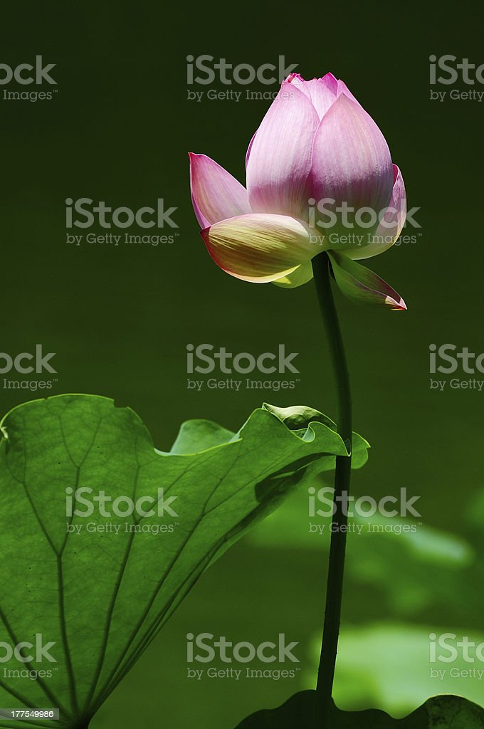 Lotus flower blooming in pond royalty-free stock photo
