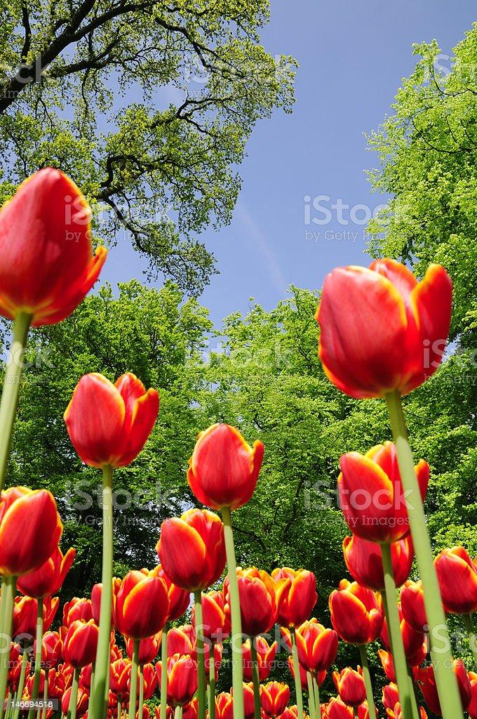 lotus flower blooming in spring royalty-free stock photo