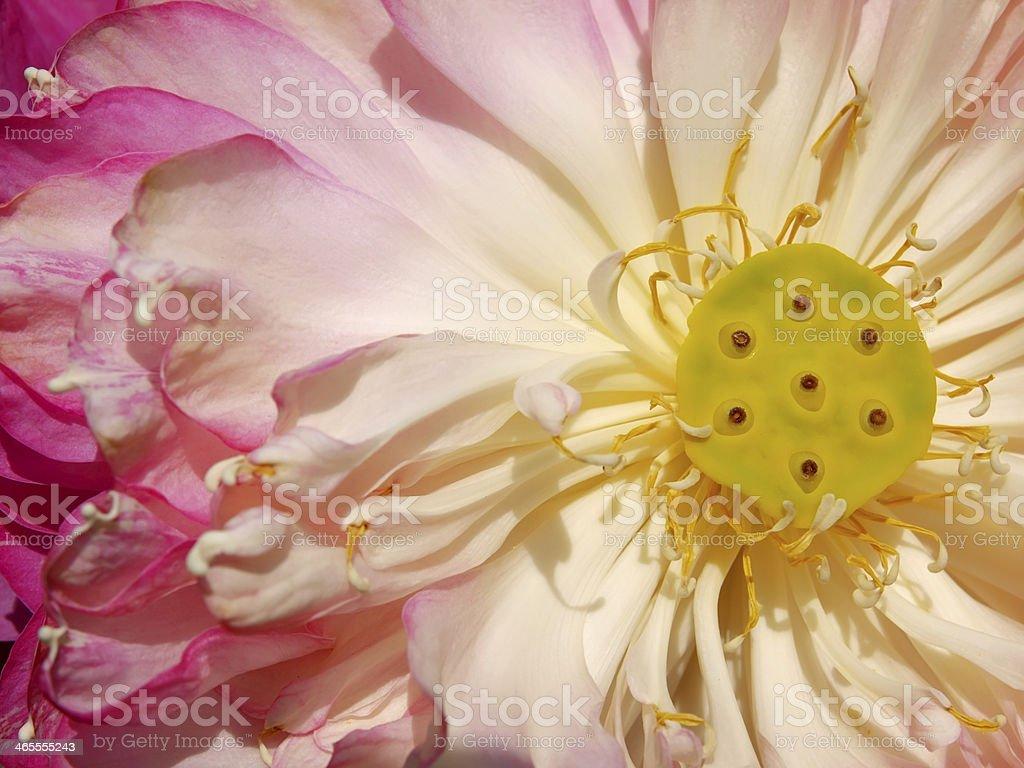 lotus flower blooming stock photo