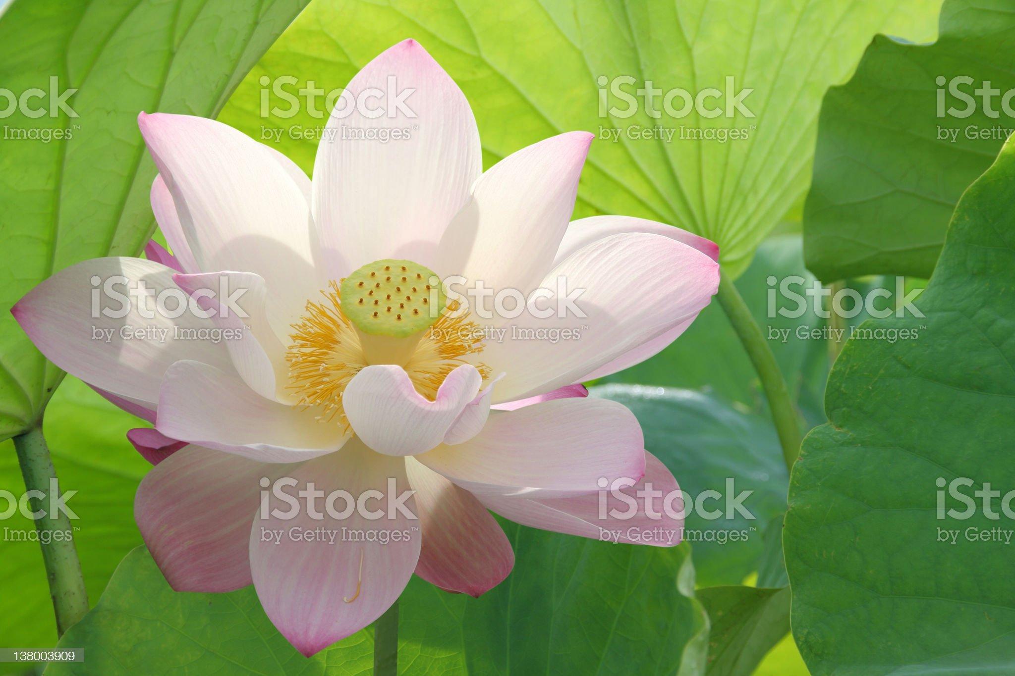 lotus flower blossom royalty-free stock photo