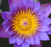 Lotus flower close-up