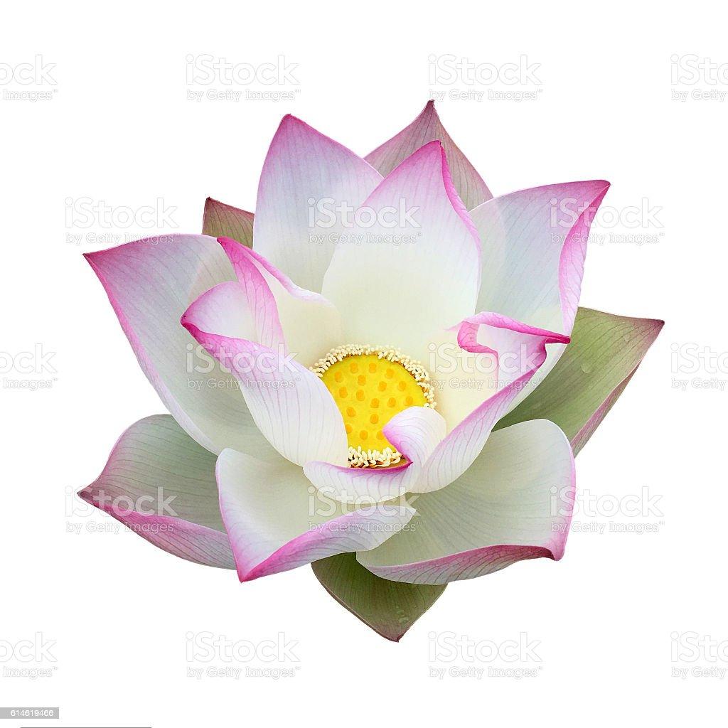 Lotus flower head isolated white stock photo