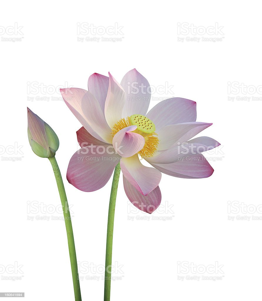 Lotus flower in bloom and bud on a white background stock photo