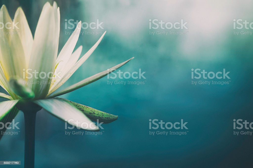 Lotus flower in bloom with copy space, shallow depth of field.