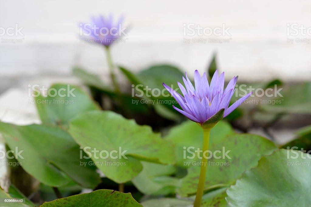 Flor de loto en estanque  foto de stock libre de derechos
