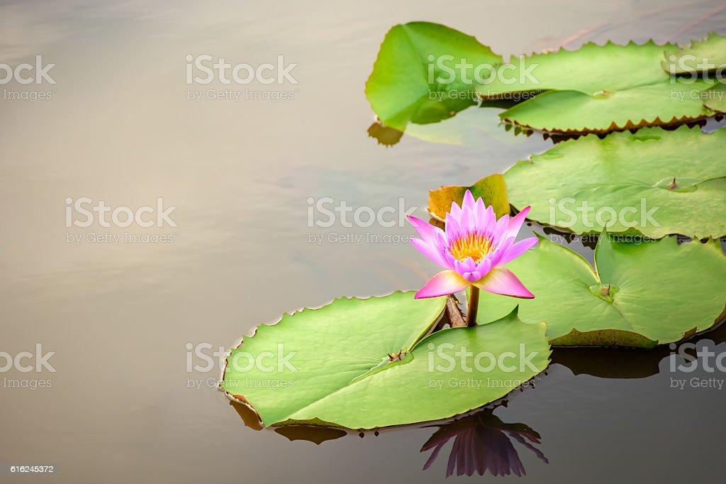 Lotus flower in pond stock photo