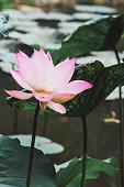 Lotus flower in Thailand